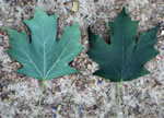 picture of Acer floridanum, image of Acer barbatum, photograph of Acer saccharum ssp. floridanum