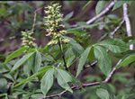 picture of Aesculus glabra var. glabra, image of Aesculus glabra var. glabra, photograph of -