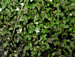 picture of Bacopa innominata, image of Bacopa innominata, photograph of Bacopa cyclophylla