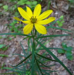 picture of Coreopsis delphiniifolia, image of Coreopsis delphiniifolia, photograph of Coreopsis major var. stellata