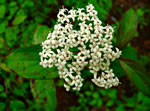 picture of Cornus drummondii, image of Cornus drummondii, photograph of -