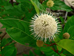 picture of Cephalanthus occidentalis, image of Cephalanthus occidentalis, photograph of Cephalanthus occidentalis