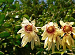 picture of Chimonanthus praecox, image of -, photograph of -