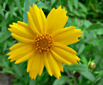 picture of Coreopsis pubescens +, image of Coreopsis pubescens +, photograph of Coreopsis pubescens