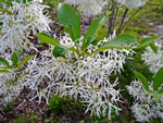 picture of Chionanthus virginicus, image of Chionanthus virginicus, photograph of Chionanthus virginicus