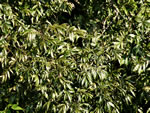picture of Carya aquatica, image of Carya aquatica, photograph of Carya aquatica