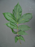 picture of Carya laciniosa, image of Carya laciniosa, photograph of Carya laciniosa