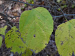 picture of Celtis occidentalis, image of Celtis occidentalis, photograph of Celtis occidentalis var. occidentalis