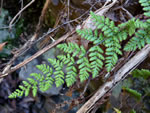 Hairy Lipfern