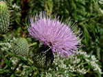 picture of Cirsium discolor, image of Cirsium discolor, photograph of Carduus discolor