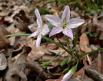 picture of Claytonia virginica +, image of Claytonia virginica +, photograph of Claytonia virginica