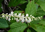picture of Clethra alnifolia, image of Clethra alnifolia, photograph of Clethra alnifolia var. alnifolia