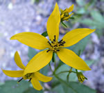 picture of Coreopsis latifolia, image of Coreopsis latifolia, photograph of Coreopsis latifolia