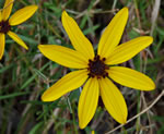 picture of Coreopsis pulchra, image of Coreopsis pulchra, photograph of -