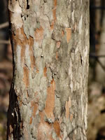 picture of Crataegus viridis, image of Crataegus viridis var. viridis, photograph of Crataegus viridis