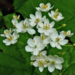 picture of Diphylleia cymosa, image of Diphylleia cymosa, photograph of Diphylleia cymosa