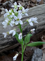 picture of Cardamine diphylla, image of Cardamine diphylla, photograph of Cardamine diphylla