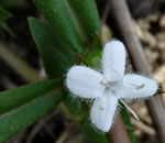 picture of Diodia virginiana, image of Diodia virginiana +, photograph of Diodia virginiana
