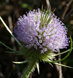 picture of Dipsacus fullonum, image of Dipsacus fullonum, photograph of Dipsacus sylvestris