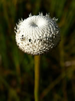 Common Ten-angled Pipewort