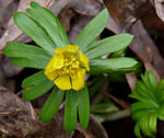 picture of Eranthis hyemalis, image of Eranthis hyemalis, photograph of -