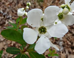 picture of Exochorda racemosa, image of Exochorda racemosa, photograph of -