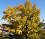 picture of Ginkgo biloba, image of Ginkgo biloba, photograph of -