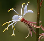 picture of Oenothera filipes, image of Gaura filipes, photograph of Gaura filipes