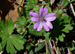 picture of Geranium molle, image of Geranium molle, photograph of Geranium molle