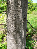 picture of Gleditsia aquatica, image of Gleditsia aquatica, photograph of Gleditsia aquatica