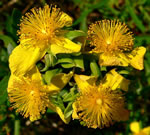 picture of Hypericum dolabriforme, image of Hypericum dolabriforme, photograph of -