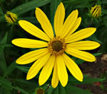 picture of Helianthus giganteus, image of Helianthus giganteus, photograph of Helianthus giganteus