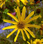 picture of Helianthus longifolius, image of Helianthus longifolius, photograph of Helianthus longifolius