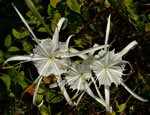 picture of Hymenocallis occidentalis var. occidentalis, image of Hymenocallis occidentalis var. occidentalis, photograph of -