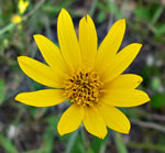picture of Helianthus occidentalis ssp. occidentalis, image of Helianthus occidentalis ssp. occidentalis, photograph of Helianthus occidentalis