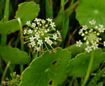 picture of Hydrocotyle prolifera, image of Hydrocotyle prolifera, photograph of Hydrocotyle verticillata var. triradiata