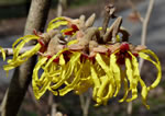 picture of -, image of Hamamelis vernalis, photograph of -