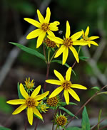 picture of Helianthus hirsutus, image of Helianthus hirsutus, photograph of Helianthus hirsutus