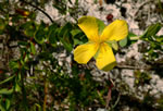 picture of Hypericum crux-andreae, image of Hypericum crux-andreae, photograph of Hypericum stans