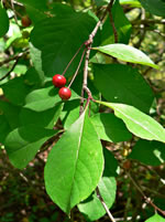 picture of Ilex longipes, image of Ilex longipes, photograph of Ilex decidua var. longipes