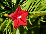 picture of Ipomoea quamoclit, image of Ipomoea quamoclit, photograph of Ipomoea quamoclit