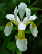 picture of Iris sibirica, image of Iris sibirica, photograph of -