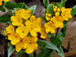 picture of Lithospermum canescens, image of Lithospermum canescens, photograph of Lithospermum canescens