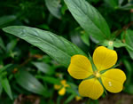 picture of Ludwigia decurrens, image of Ludwigia decurrens, photograph of Ludwigia decurrens
