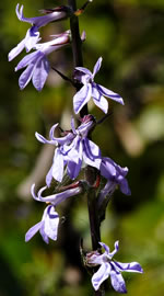 picture of Lobelia puberula +, image of Lobelia puberula +, photograph of Lobelia puberula