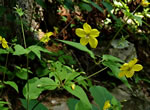 picture of Lysimachia tonsa, image of Lysimachia tonsa, photograph of Lysimachia tonsa
