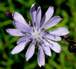picture of Lactuca floridana, image of Lactuca floridana var. floridana, photograph of Lactuca floridana