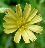 picture of Lactuca serriola, image of Lactuca serriola, photograph of Lactuca scariola