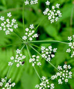 picture of Ligusticum canadense, image of Ligusticum canadense, photograph of Ligusticum canadense