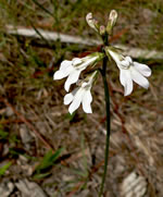 picture of Lobelia paludosa, image of Lobelia paludosa, photograph of -